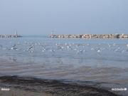 07/03/2011 - Gabbiani in volo