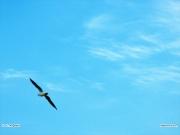 14/03/2011 - Gabbiano in volo a Senigallia