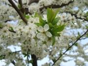 30/03/2011 - Primavera a Senigallia: biancospino in fiore
