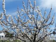 08/04/2011 - Senigallia, ciliegio in fiore