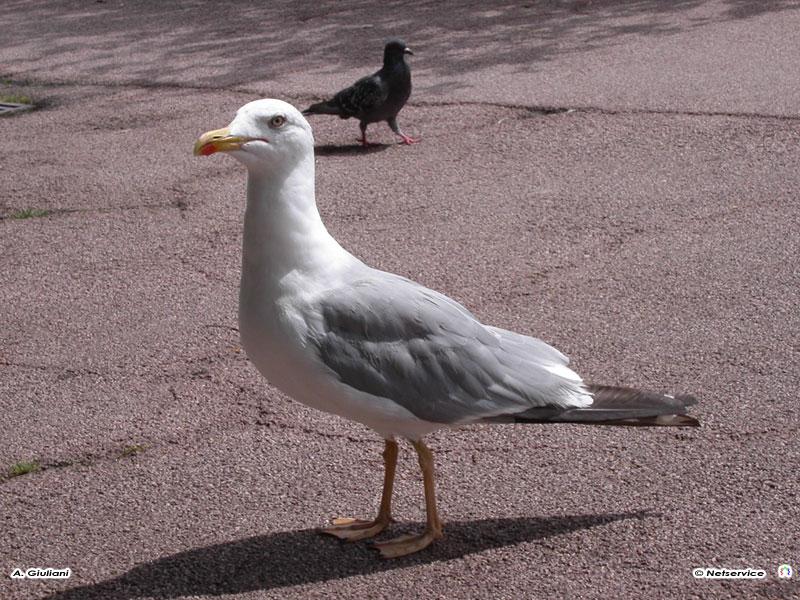 29/06/2009 - Gabbiano e piccione